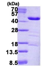 SDS-PAGE - LRPAP1 protein (ab123156)