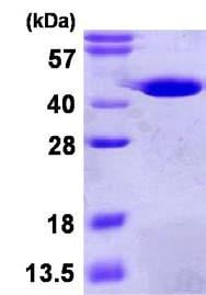 SDS-PAGE - GMPR1 protein (His tag) (ab123163)