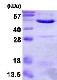 SDS-PAGE - Annexin VII protein (ab123173)