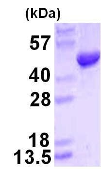 SDS-PAGE - HMBS protein (ab123176)