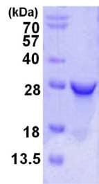 SDS-PAGE - RPE protein (ab123180)