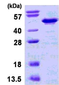 SDS-PAGE - IKB beta protein (ab123184)