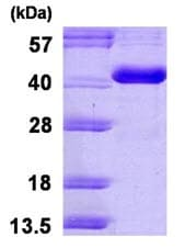 SDS-PAGE - CA8 protein (His tag) (ab123192)