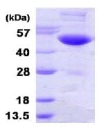 SDS-PAGE - UBE1C protein (His tag) (ab123194)