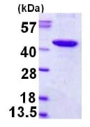 SDS-PAGE - PBK protein (His tag) (ab123196)
