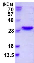 SDS-PAGE - NXT2 protein (ab123209)