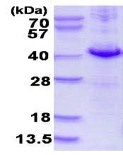 SDS-PAGE - DUSP10 protein (His tag) (ab123213)