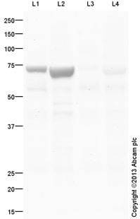 Western blot - Anti-Cytochrome P450 1A1 antibody (ab124295)