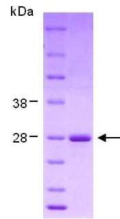 SDS-PAGE - Hsp27 protein (ab124305)