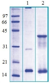 SDS-PAGE - Galectin 13 protein (Tagged-His Tag) (ab124309)