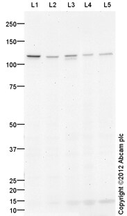 Western blot - Anti-STIL antibody (ab124322)