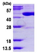 SDS-PAGE - Dnmt2 protein (His tag) (ab124566)