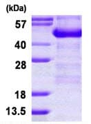 SDS-PAGE - ADRM1 protein (His tag) (ab124570)