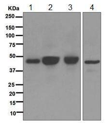 Western blot - Anti-Angiotensin II Type 1 Receptor antibody [EPR3873] (ab124734)