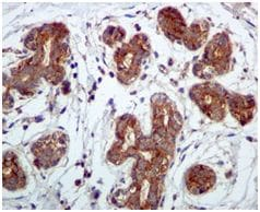 Immunohistochemistry (Formalin/PFA-fixed paraffin-embedded sections) - Anti-Phospholipase C beta 3 antibody [EPR5951] (ab124735)