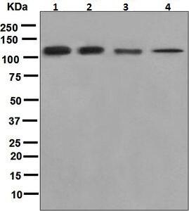Western blot - Anti-eIF3B antibody [EPR5805] (ab124778)