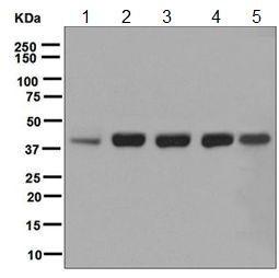 Western blot - Anti-RAE1 antibody [EPR6923] (ab124783)