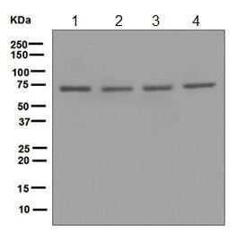 Western blot - Anti-POT1 antibody [EPR6319] (ab124784)