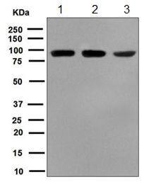 Western blot - Anti-MST1 antibody [EPR6207] (ab124787)