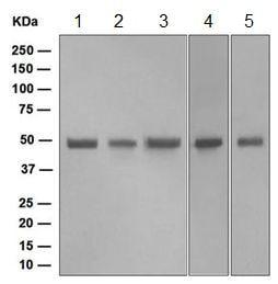 Western blot - Anti-FLI1 antibody [EPR4645] (ab124791)