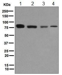 Western blot - Anti-THOC5 antibody [EPR6905(B)] (ab124996)