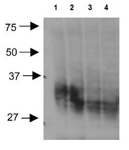 Western blot - Anti-Aquaporin 3 antibody (ab125045)