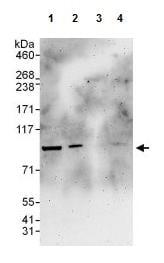 Western blot - Anti-TLE 1 antibody (ab125183)