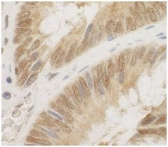 Immunohistochemistry (Formalin/PFA-fixed paraffin-embedded sections) - Anti-Cdc6 antibody (ab125195)