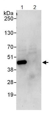 Immunoprecipitation - Anti-HIF1AN  antibody (ab125199)