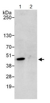 Immunoprecipitation - Anti-PURA antibody (ab125200)
