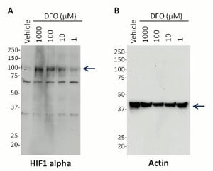Western blot - Hif1 + Actin Hypoxia Human In Cell ELISA Kit (ab125300)