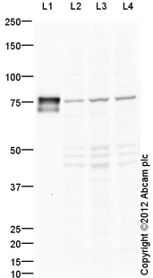 Western blot - Anti-Hsc70 antibody (ab125307)