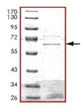 SDS-PAGE - Styk1 protein (Tagged) (ab125536)