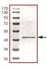 SDS-PAGE - Activin Receptor Type IIA protein (His tag) (ab125548)
