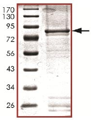 SDS-PAGE - MAP3K9 protein (Active) (ab125554)