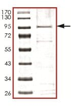 SDS-PAGE - RIP3 protein (Active) (ab125566)