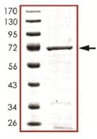 SDS-PAGE - YANK2 protein (Active) (ab125574)