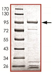 SDS-PAGE - Grp75 protein (Tagged) (ab125600)