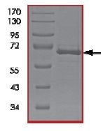 SDS-PAGE - SAPK4 protein (Active) (ab125643)