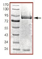 SDS-PAGE - PDE1B protein (Active) (ab125652)
