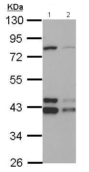 Western blot - Anti-TID1 antibody (ab125701)