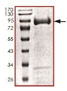 SDS-PAGE - PAK1 protein (Active) (ab125805)