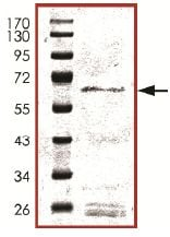 SDS-PAGE - SIRT3 protein (Active) (ab125810)