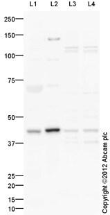 Western blot - Anti-Wnt9a antibody (ab125957)