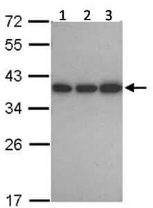 Western blot - Anti-CAPZA1 antibody (ab125972)