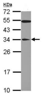Western blot - Anti-GAS41 antibody (ab126058)