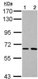 Western blot - Anti-SH2D3A antibody (ab126064)