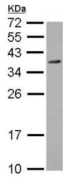 Western blot - Anti-P15RS antibody (ab126065)
