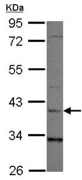 Western blot - Anti-LRG1 antibody (ab126069)