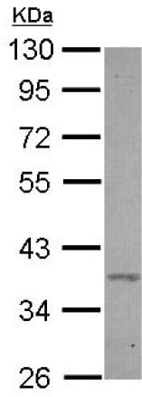 Western blot - Anti-BXDC2 antibody (ab126073)